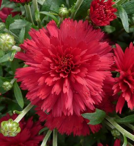 Flamingo Cranberry Red Garden Mum - Chrysanthemum grandiflorum