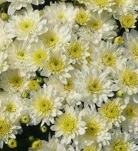 Moonglow White Garden Mum - Chrysanthemum grandiflorum