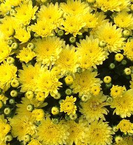 Moonglow Yellow Garden Mum - Chrysanthemum grandiflorum