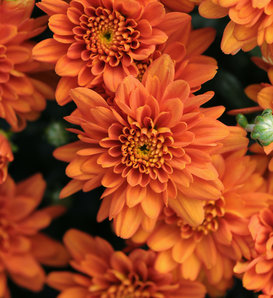 Orange Zest Garden Mum - Chrysanthemum grandiflorum