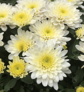 Paradiso White Garden Mum - Chrysanthemum grandiflorum