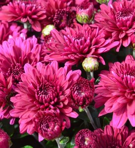 Plumberry Purple Garden Mum - Chrysanthemum grandiflorum