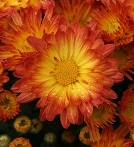 Stacy™ Dazzling Orange Garden Mum - Chrysanthemum grandiflorum
