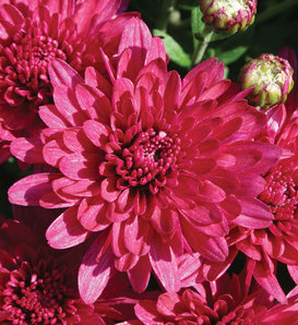 Wanda Purple Garden Mum - Chrysanthemum grandiflorum