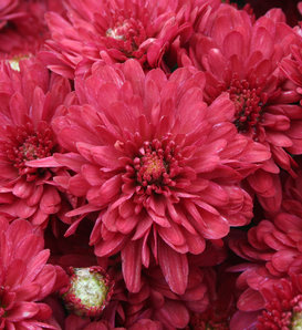 Wanda Red Garden Mum - Chrysanthemum grandiflorum