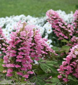 Gatsby Pink® - Oakleaf hydrangea - Hydrangea quercifolia