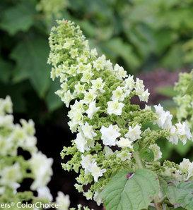 Gatsby Star® - Oakleaf hydrangea - Hydrangea quercifolia