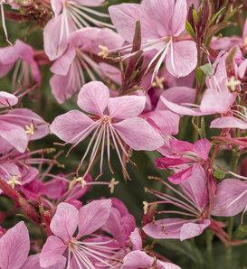 Karalee® Petite Pink - Wand Flower - Gaura lindheimeri