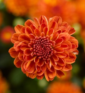 Gigi Orange Garden Mum - Chrysanthemum grandiflorum