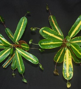 Golden Bell - Rushfoil - Croton species