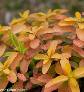 Golden Rule® - St. John's-Wort - Hypericum calycinum