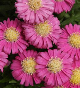 Pink Mist - Aster hybrid