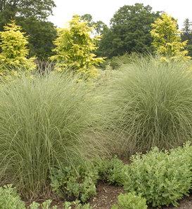 Morning Light - Ornamental Grass - Miscanthus sinensis
