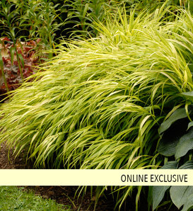 'All Gold' - Japanese Hakone Grass - Hakonechloa macra