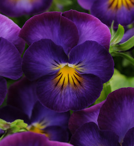 'Halo Violet' - Viola cornuta