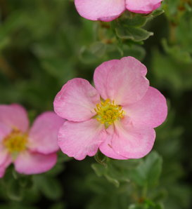 Happy Face Hearts® - Potentilla fruticosa
