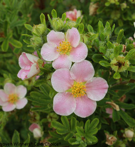 Happy Face® Pink Paradise - Potentilla fruticosa