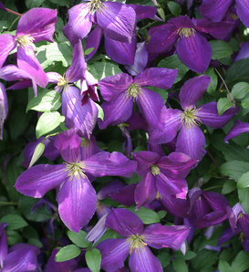 Happy Jack® Purple - Clematis x