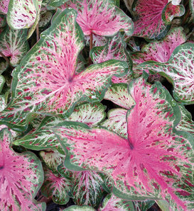 Heart to Heart™ 'Heart and Soul' - Strap Leaf Caladium - Caladium hortulanum