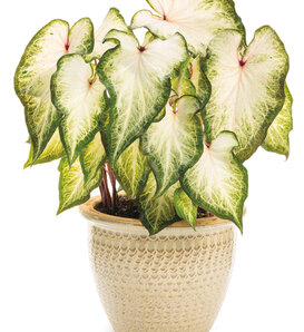 Heart to Heart® 'White Star' - Sun and Shade Caladium - Caladium hortulanum