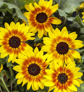Suncredible® Saturn™ - Sunflower - Helianthus hybrid
