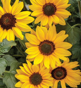 Suncredible® Yellow - Sunflower - Helianthus hybrid