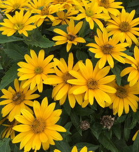 Tuscan Gold™ - False Sunflower - Heliopsis helianthoides