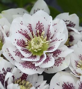 Wedding Party® Confetti Cake - Lenten Rose - Helleborus hybrid