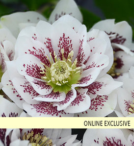 Wedding Party® Confetti Cake - Lenten Rose - Helleborus hybrid
