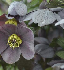 Honeymoon® Vegas Nights - Lenten Rose - Helleborus hybrid