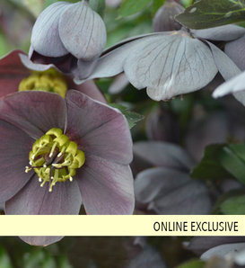 Honeymoon® Vegas Nights - Lenten Rose - Helleborus hybrid