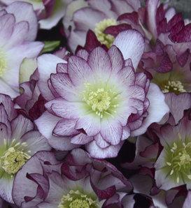 Wedding Party® Blushing Bridesmaid - Lenten Rose - Helleborus hybrid