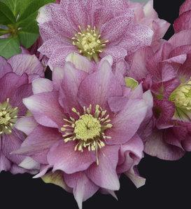 Wedding Party® Maid of Honor - Lenten Rose - Helleborus hybrid