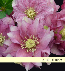 Wedding Party® Maid of Honor - Lenten Rose - Helleborus hybrid