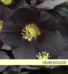 Honeymoon® New York Night - Lenten Rose - Helleborus hybrid