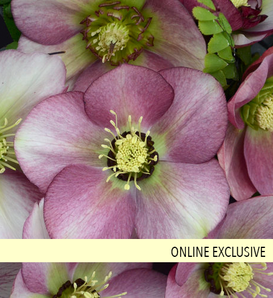 Honeymoon® Paris in Pink - Lenten Rose - Helleborus hybrid