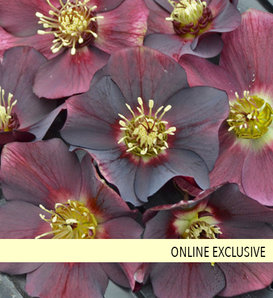 Honeymoon® Rome in Red - Lenten Rose - Helleborus hybrid