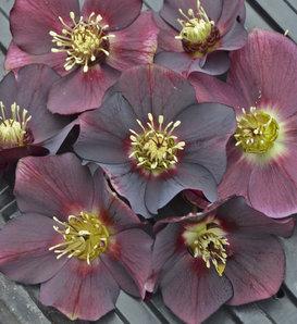 Honeymoon® Rome in Red - Lenten Rose - Helleborus hybrid