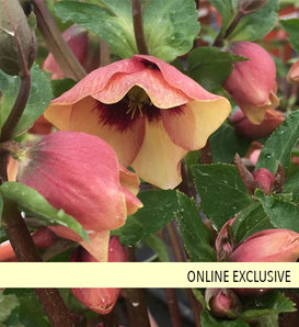 Honeymoon® Sandy Shores - Lenten Rose - Helleborus hybrid