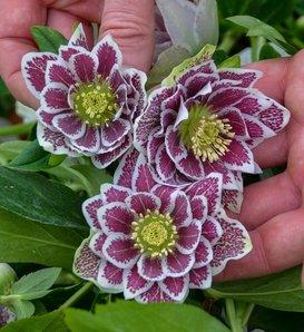 Wedding Party® Shotgun Wedding - Lenten Rose - Helleborus hybrid