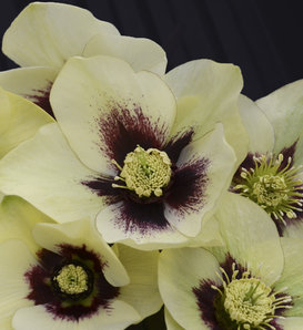 Honeymoon® Spanish Flare - Lenten Rose - Helleborus hybrid