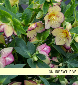 Honeymoon® Tropical Sunset - Lenten Rose - Helleborus hybrid