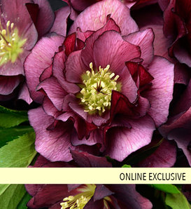 Wedding Party® True Love - Lenten Rose - Helleborus hybrid