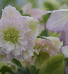 Wedding Party® Flower Girl - Lenten Rose - Helleborus hybrid
