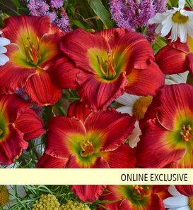 Happy Ever Appster™ Red Hot Returns - Daylily - Hemerocallis hybrid