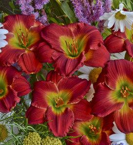 Happy Ever Appster™ Red Hot Returns - Daylily - Hemerocallis hybrid