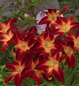 Rainbow Rhythm® Ruby Spider - Daylily - Hemerocallis hybrid