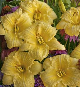 Rainbow Rhythm® 'Going Bananas' - Daylily - Hemerocallis hybrid