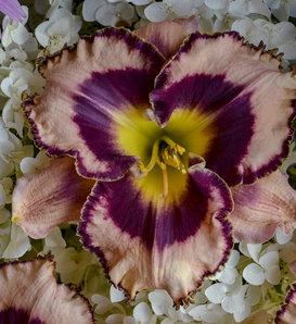Rainbow Rhythm® 'Sound of My Heart' - Daylily - Hemerocallis hybrid