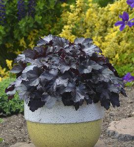 Primo® 'Black Pearl' - Coral Bells - Heuchera hybrid